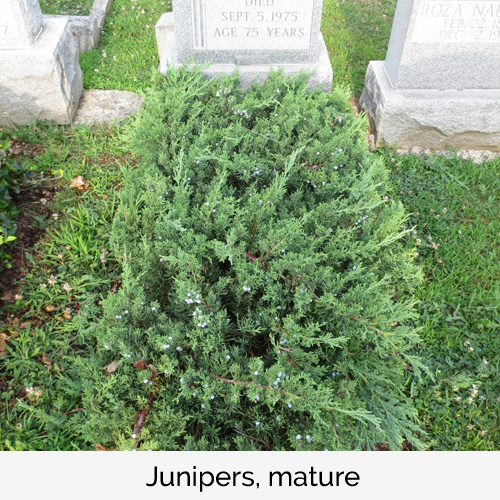 Junipers, mature