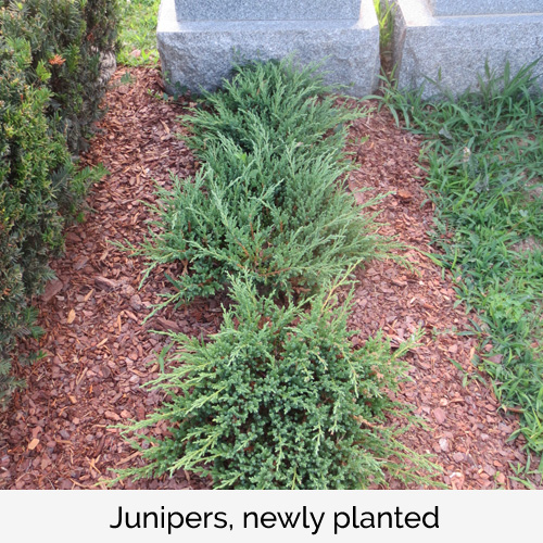 Junipers, newly planted