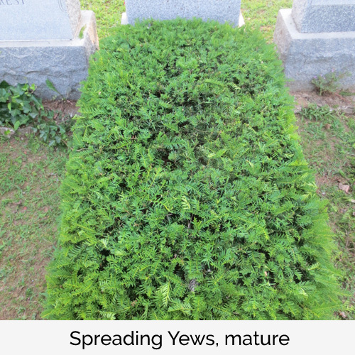 Spreading Yews, mature