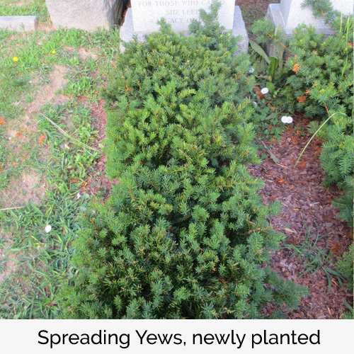 Spreading Yews, newly planted